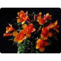 """Dendrobium cuthbersonii """"Bicolor"""""""
