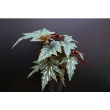 Begonia acontifolia (sophie cecile)