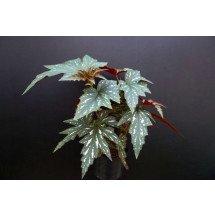 "Begonia acontifolia ""Sophie Cecile"" Big"