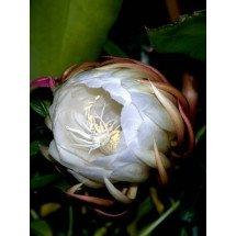 "Epiphyllum oxypetalum ""Big"""