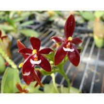 phalaenopsis cornu-cervi var. Red