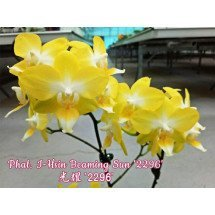 "Phalaenopsis I-Hsin Beaming Sun ""2296"""