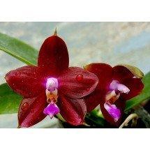 """Phalaenopsis Ld's Bear King """"RK-1''"""