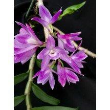 Dendrobium victoria-reginae x D. laevifolium