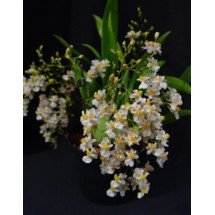 Oncidium Twinkle White ''Big Plant''