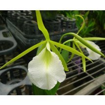 Encyclia.mariae X B.nodosa