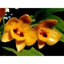 "Dendrobium chrysanthum ""Orange Type"""