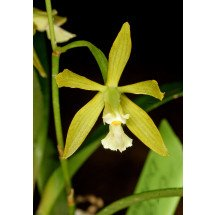 Encyclia thienii