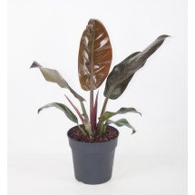 "Philodendron Imperial Red ""Big Plant"""