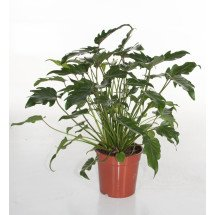 """Philodendron xanadu """"Compact Small Type"""" """"Big Plant"""""""