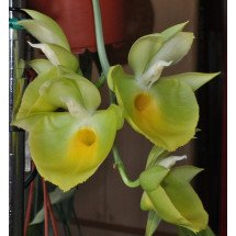 Catasetum pileatum J.Green Gold