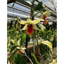"Dendrobium Hsinying Frosty Maree x Dendrobium tobaense ""Big Plant"""