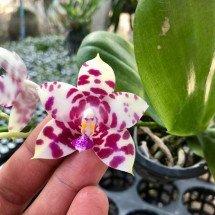 Phalaenopsis KS Super Zebra