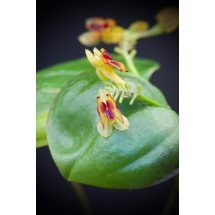 Lepanthes larvina