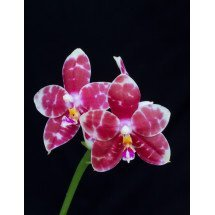 "Phalaenopsis Zheng Min Panther ""Dark Selectcion"""