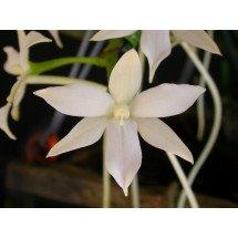 Angraecum articulata