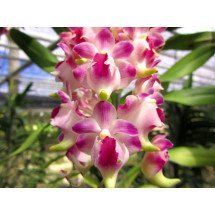 Aerides lawrenciae 'Hub AM x Vicean'