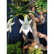 Angraecum compactum