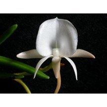 Angraecum scottianum
