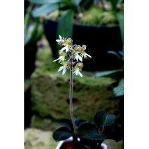 Anoectochilus formosanus ''Big Plant''