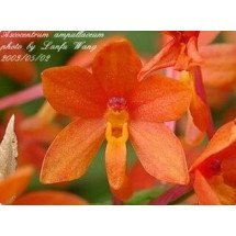 Ascocentrum ampullaceum `Orange`