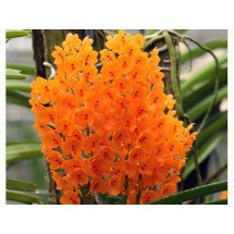 "Ascocentrum miniatum ""Big"""