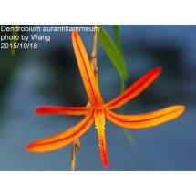 Dendrobium aurantiflammeum