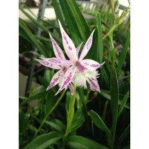 Barkeria spectabilis x Epidendrum criniferum