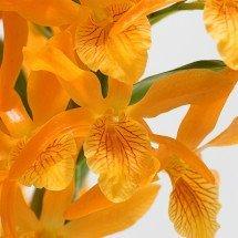 Dendrobium Nobile Firebird