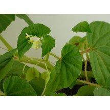 Begonia humilis
