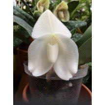 Paphiopedilum bellatulum alba ''Snow-Whit x Sib''