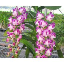 "Aerides lawrenceae ""Dumrong XXL"""