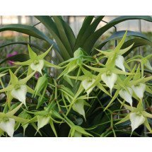 "Angraecum Crestwood ""Tomorrow Star"""