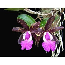 Cattleya Tripp Johnson x Cattleya Pradit Spot