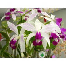 Cattleya violacea semi alba 'Big'