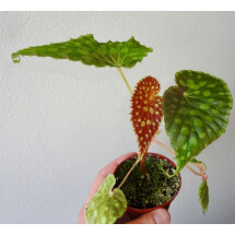 "Begonia chlorosticta ""Red"""