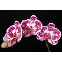 Dtps. Chian Xen Diamond