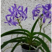 Neostylis `Blue Moon` Big