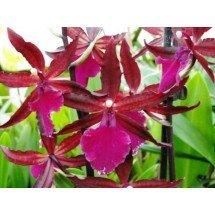 Odontoglossum Massai Red