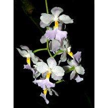 Cuitlauzina pendula (Odontoglossum citrosmum)