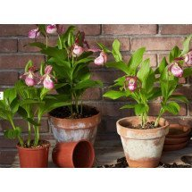 Cypripedium Macra Pink ''Big Plant''