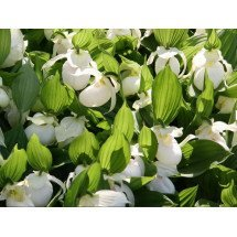 "Cypripedium Macra ""White / Light Pink"""