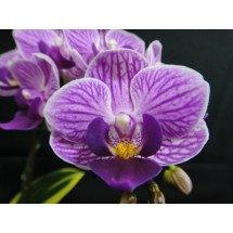 Doritaenopsis Sogo Vivien `Golden Vivien` Big