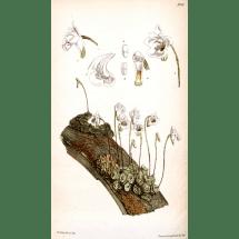 Dendrobium tripaleum