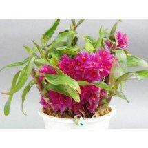 Dendrobium Hibiki `Sandra`s Delight`CCE/AOS