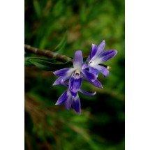 """Dendrobium victoria-reginae """"Big"""""""