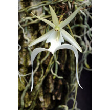 Dendrophylax lindenii ( the ghost orchid )