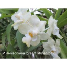 "Vanda denisoniana ""Cream Shinentorn Big"""
