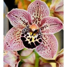 Cymbidium Dots Downunder