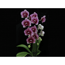Phalaenopsis Dream Diamond